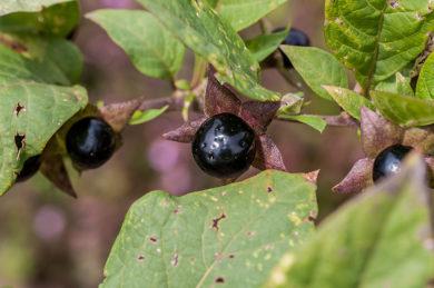 Atropa belladonna - Belladona