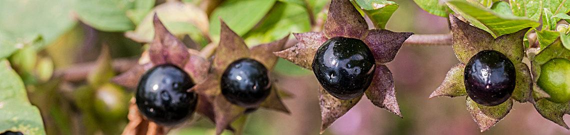 Atropa belladonnna - Belladona