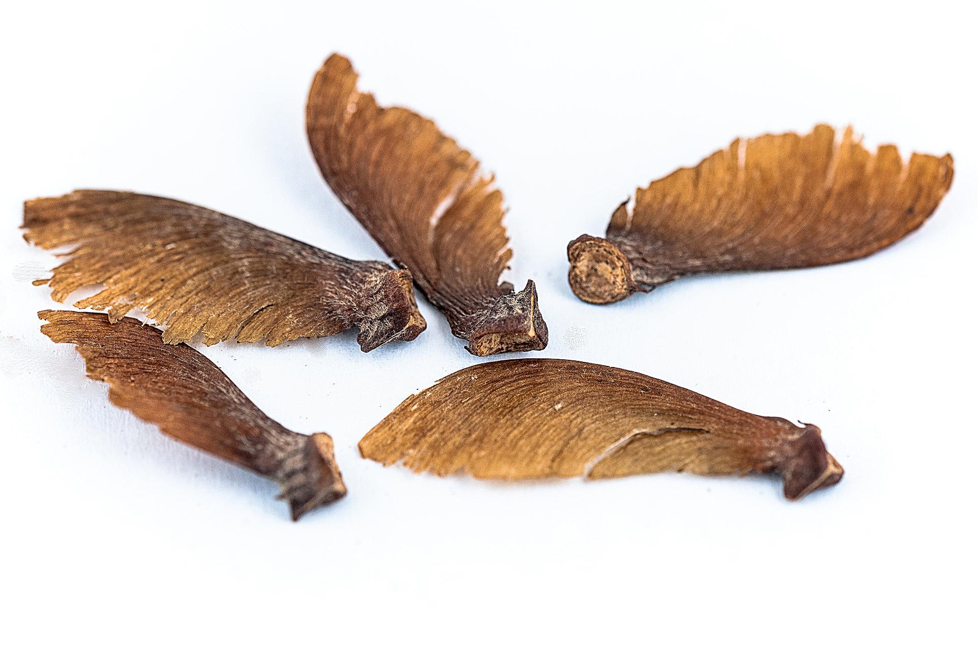 Banisteriopsis caapi - Ayahuasca