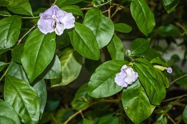 Brunfelsia pauciflora - Brunfelsia