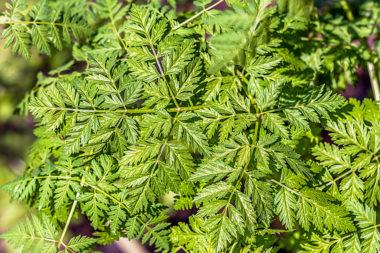 Conium maculatum - Cicuta