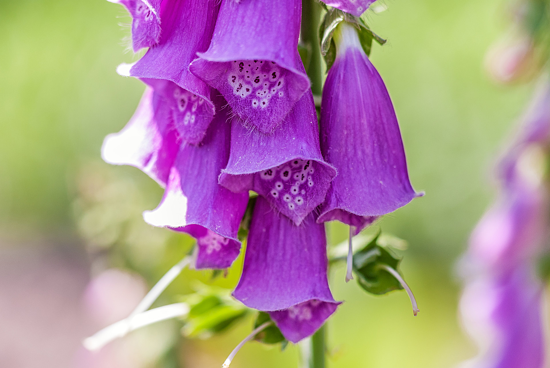 Digitalis purpurea - Digital